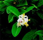 Citrus limonum essentiele olie